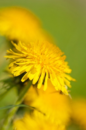 Close up view of yellow dandelion flower. Stock Photo - 10103194