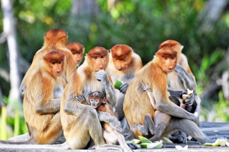 proboscis: Group of proboscis monkeys during the feeding time, national park in Borneo.