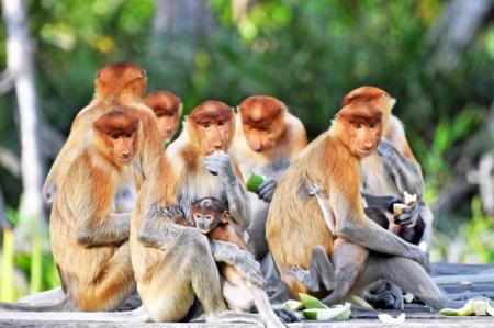 monos: Grupo de monos narigudos durante el tiempo de alimentaci�n, Parque nacional en Borneo.