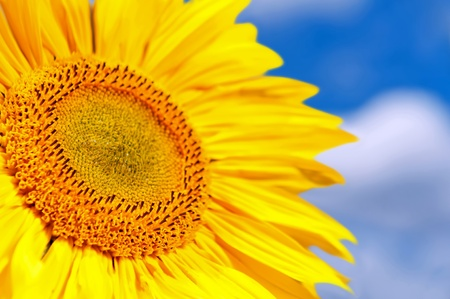 Detail of isolated sunflower against a blue sky. photo