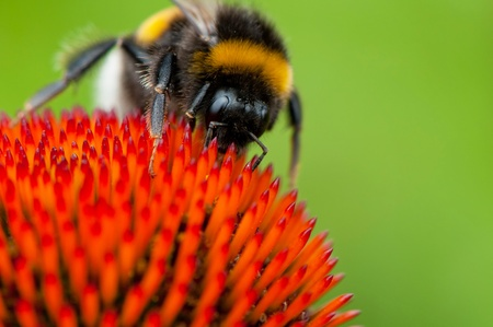 macroshot: Detailed view of bumblebee on a flower.