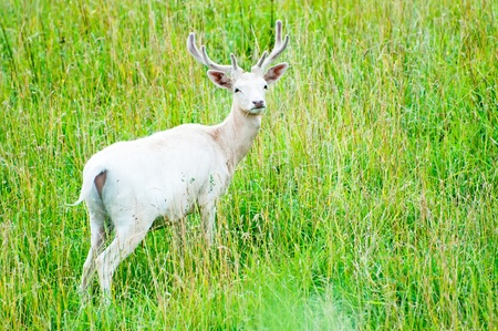 fallow deer: Picture of white fallow deer in a nature.