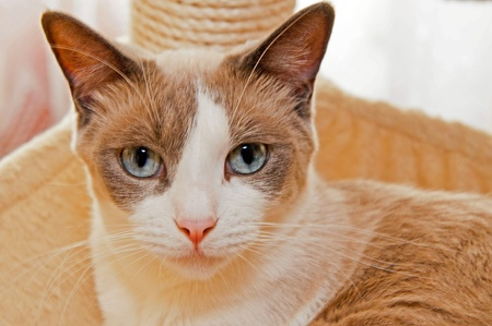 blue siamese cat: Detailed viw of Snowshoe cat, a new breed of cat originating in the USA.