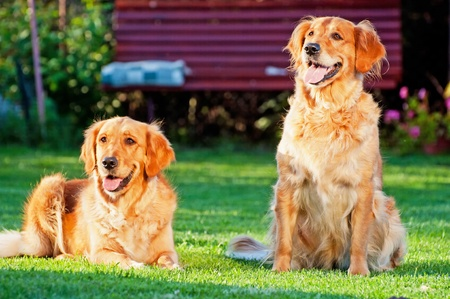 Picture of two Golden Retrievers, horizontal shot. Stock Photo
