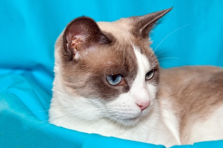 blue siamese cat: Detailed view of Snowshoe cat, a new breed of cat originating in the USA.