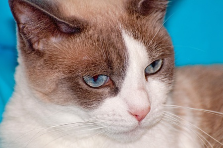 furred: Detailed view of Snowshoe cat, a new breed of cat originating in the USA.
