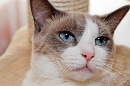 light brown eyes: Detailed view of Snowshoe cat, a new breed of cat originating in the USA.