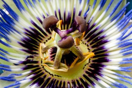 fondos violeta: Vista de primer plano de la flor de la pasión azul.