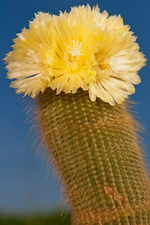 Beautiful cactus in bloom during the sunny day. photo