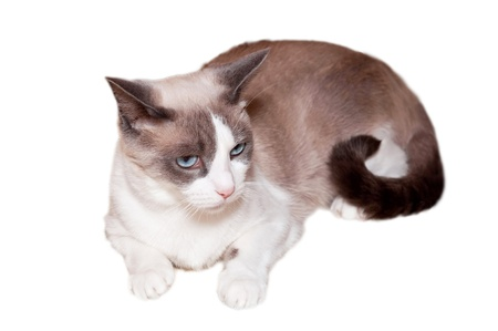 Detailed view of Snowshoe cat, a new breed of cat originating in the USA. photo
