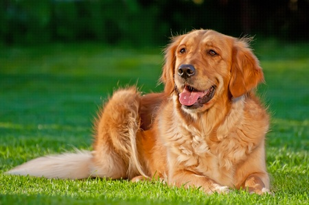 Picture of a Golden Retriever, horizontal shot.