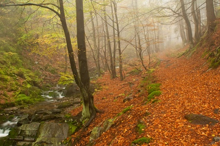 european white birch: Autumn forest and small creek during the misty day.