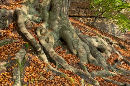 twists: Tree roots during the afternoon autumn day. Stock Photo
