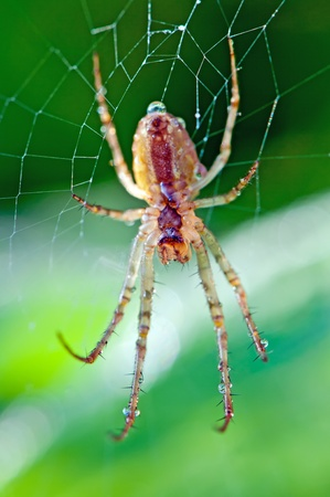 araneae: Detailed view of a spider on a green background.