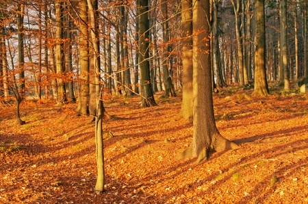 Beautiful autumn morning forest during the sunrise. photo