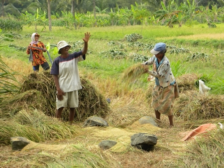 TEMPEL, JAVA, INDONESIA - JULY 4: Typical scene of rice harvest on Indonesian countryside on July 4, 2009 in Tempel, Java, Indonesia. The fertile volcanic soil has made rice a central dietary staple.
