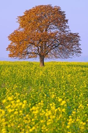 oilseed rape: Autumn chestnut tree on a field during the sunny day.
