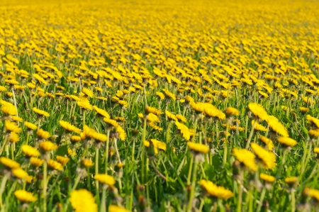 dandelion field: Beautiful view of dandelion flowers during the spring day  Stock Photo