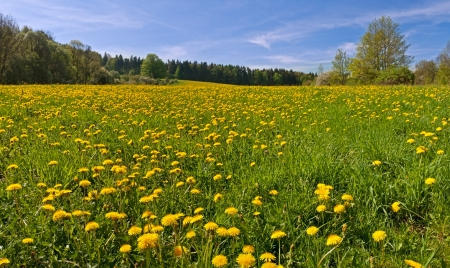 Beautiful panorama of dandelion flowers during the spring day  Stock Photo - 13663284