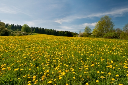 meadow: Beautiful view of dandelion flowers during the spring day. Stock Photo