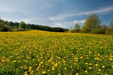 flowery: Hermosa vista de las flores de diente de le�n durante el d�a de la primavera.