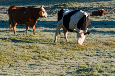 piebald: Cows on a field during the freezing sunny morning.