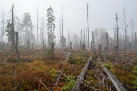 arboles secos: El bosque muerto después de que el atack del escarabajo de la corteza.