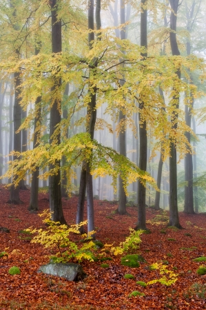beech wood: Misty forest during the autumn time. Stock Photo