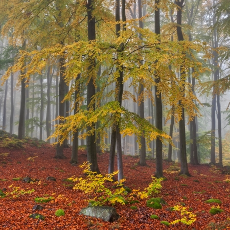 beech wood: Misty forest during the autumn time, panoramic picture, square format.