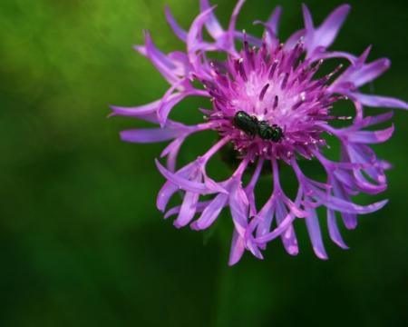 metalic: Iron Weed with Metalic Green Bee