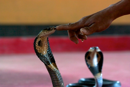 spitting: A finger of a man who is touching an Indochinese spitting cobra  Thai spitting cobra, black-and-white spitting cobra