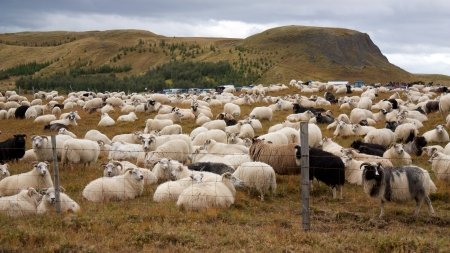 Big herd of sheep gathered on a fenced area while counting before winter photo
