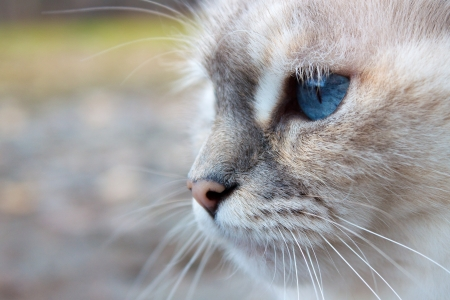 White cat head with blue eyes, muzzle and whiskers in close-up Stock Photo