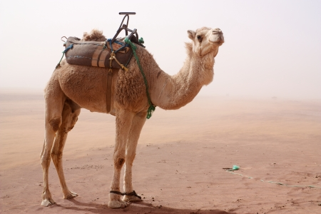 Camel with tied legs and seat standing in sand storm looking at camera photo