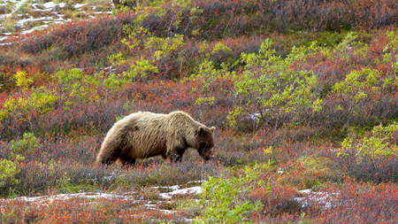 bear berry: Brown bear (grizzly; Ursus arctos) from side view in Denali National Park eating berries in colourful tundra in fall.