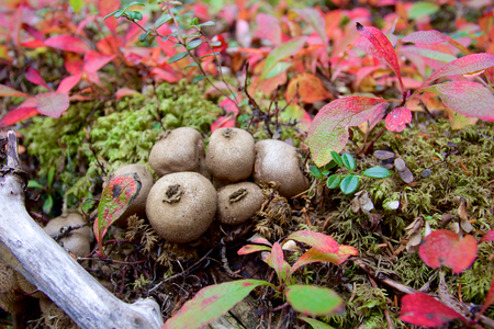 Puffball mushrooms in forest in Denali in fall with red leaves around photo