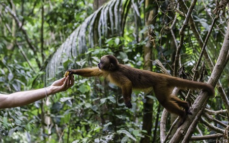 Feeding monkeys at Monkey Island Reserve is okay and encouraged by local communities. Capuchin monkey in the rainforest getting feeded by human.