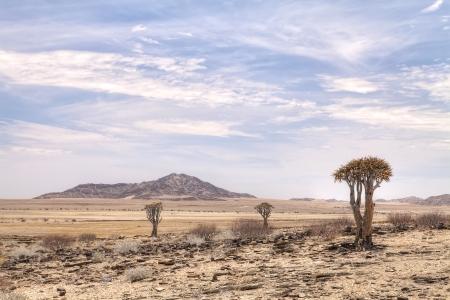quiver: Quiver bomen in de Namib Desert