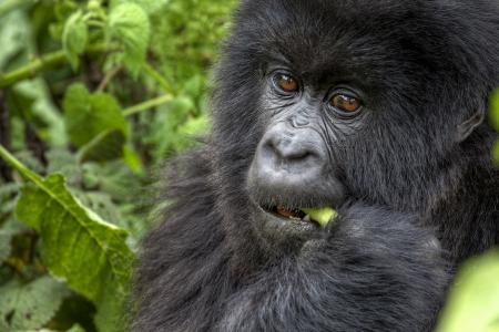 Young mountain gorilla eating