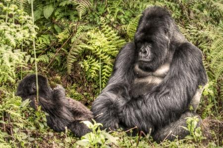 silverback: A silver back Gorilla sits playing with a baby gorilla in Virguna National Park Rwanda