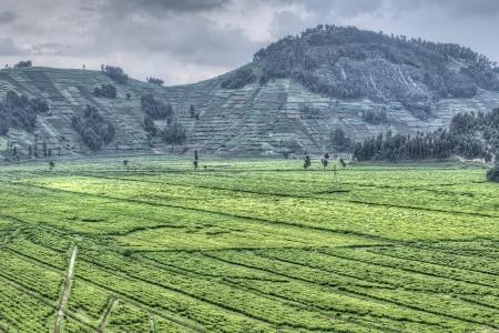 tea plantations: Tea Fields in Rwanda