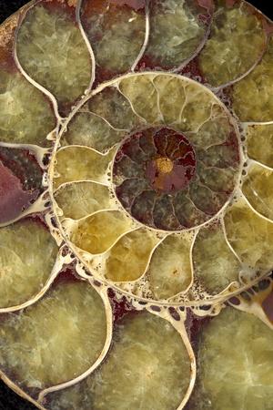 Macro de concha de caracol extrema cerrar fósiles de concha de mar Foto de archivo - 9856841