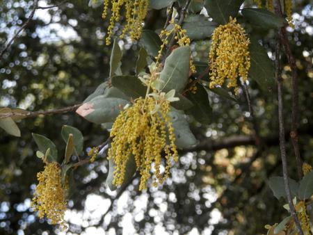 quercus robur: Male pollen-bearing catkins on Coast Live Oak (Quercus agrifolia).