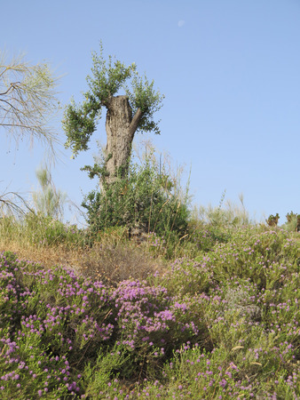 Olive tree and Flowering Wild Thyme in Alora Countryside, Andalucia