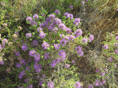 mediterrean: Clump of Flowering Wild Thyme in Alora Countryside, Andalucia Stock Photo