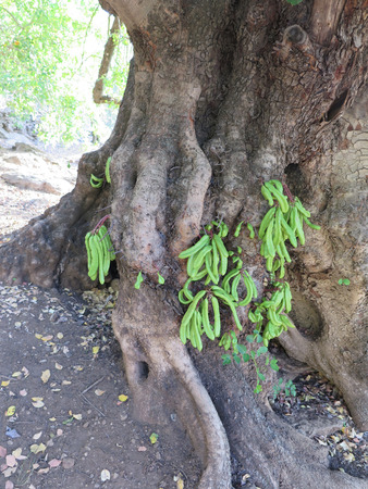 carob: Fresh young algarrobo or carob fruits on base of tree