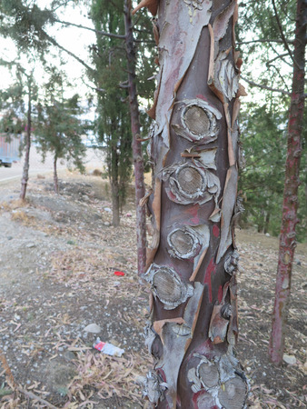 bark peeling from tree: Peeling bark and cut branch stumps on young red pine tree