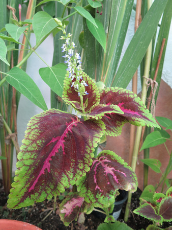 groundcover: Coleus was a genus of flowering plants in the family Lamiaceae Stock Photo