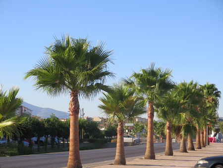 leaved: Row of Fan leaved palm trees in Pizzara, Andalucia