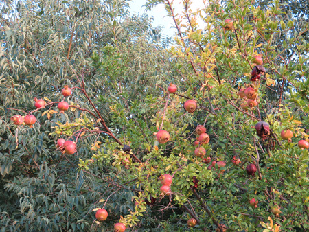 pommegranate: Ripe pommegranate fruit on tree in Alora Countryside Andalucia Stock Photo